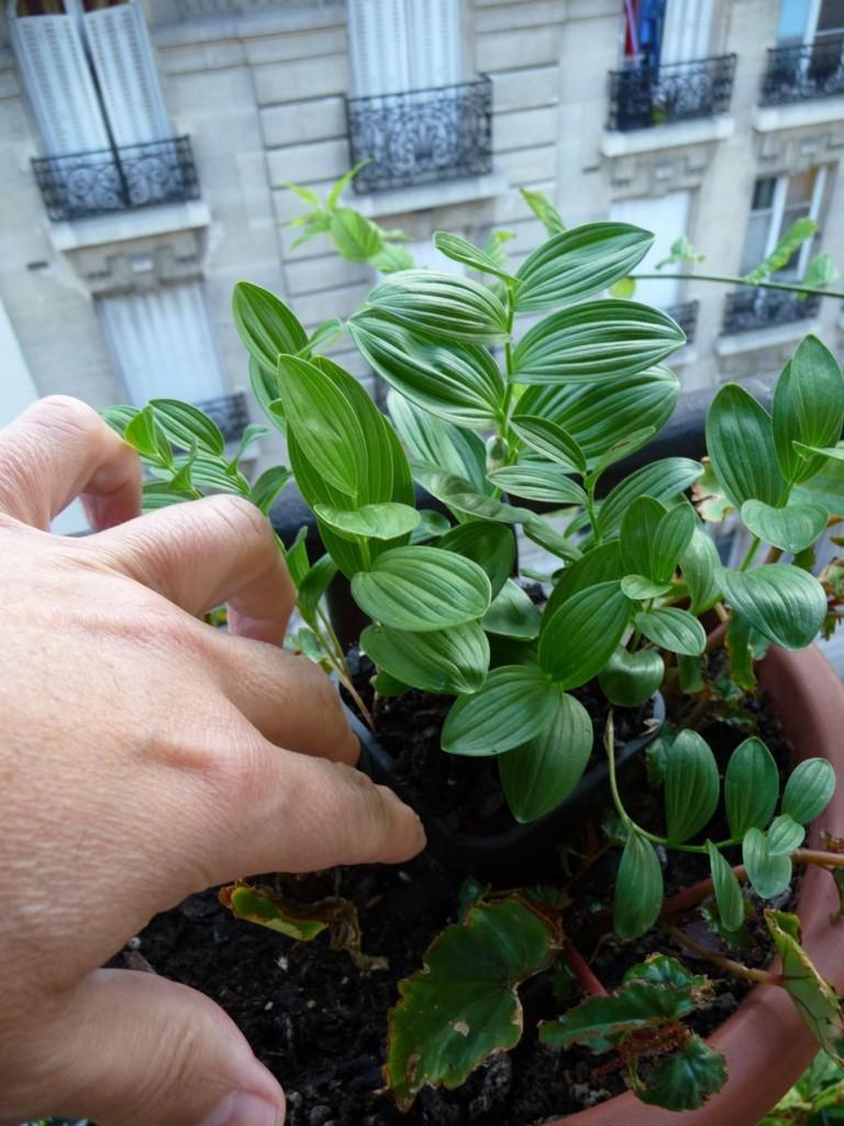 Sceau-de-Salomon miniature (Polygonatum humile)