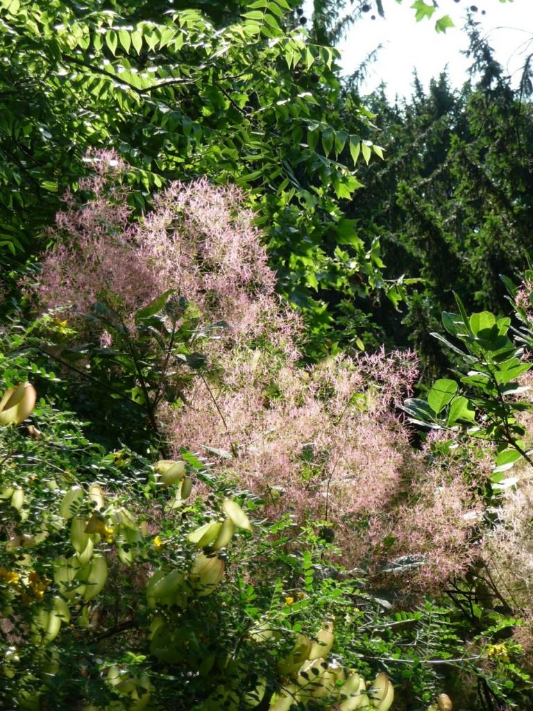 Soleil dans la floraison fanée d'un Cotinus