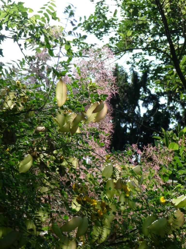 Soleil dans la floraison fanée d'un Cotinus et les fruits d'un baguenaudier