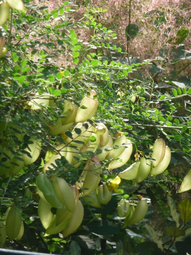 Soleil dans les fruits d'un baguenaudier