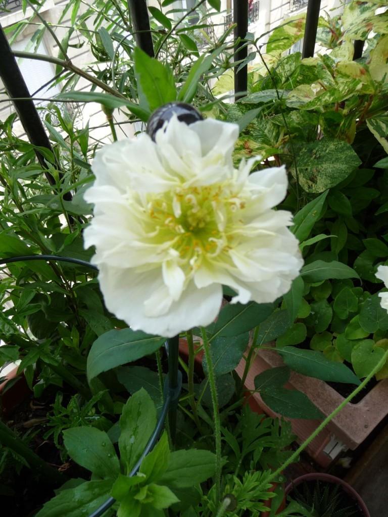 Pavot d'Islande (Papaver nudicaule) à fleur blanche semi double