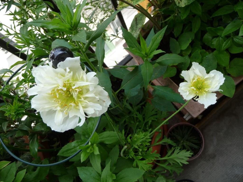 Pavot d'Islande (Papaver nudicaule) à fleurs blanches semi doubles