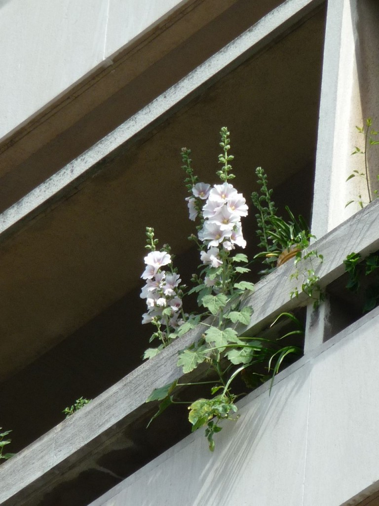 Rose trémière sur un balcon parisien, Paris 16e (75)
