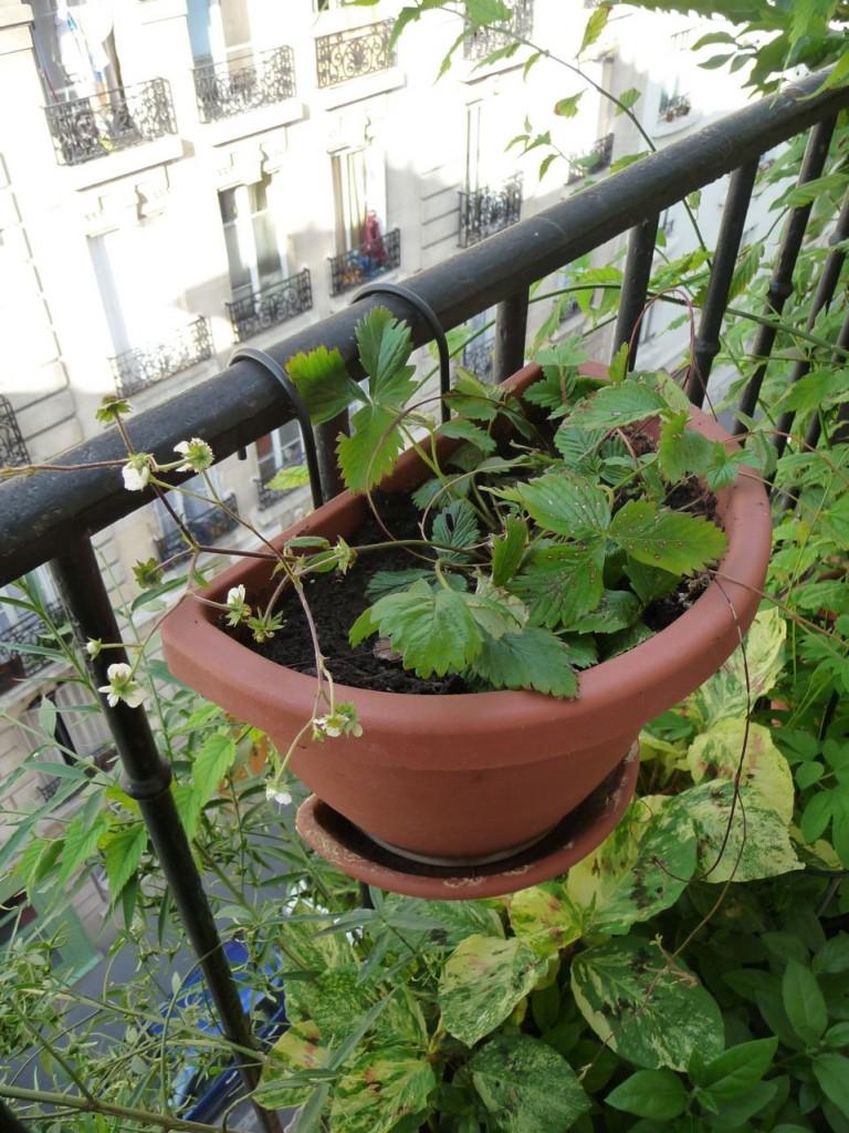 Fragaria vesca 'Flore Plena' dans une suspension demi lune sur mon balcon, Paris 19e (75)