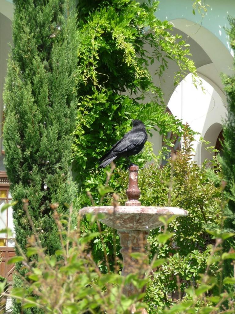 Corneille se désaltérant dans une fontaine du jardin à l'Andalouse de la Grande Mosquée, Paris 5e (75)