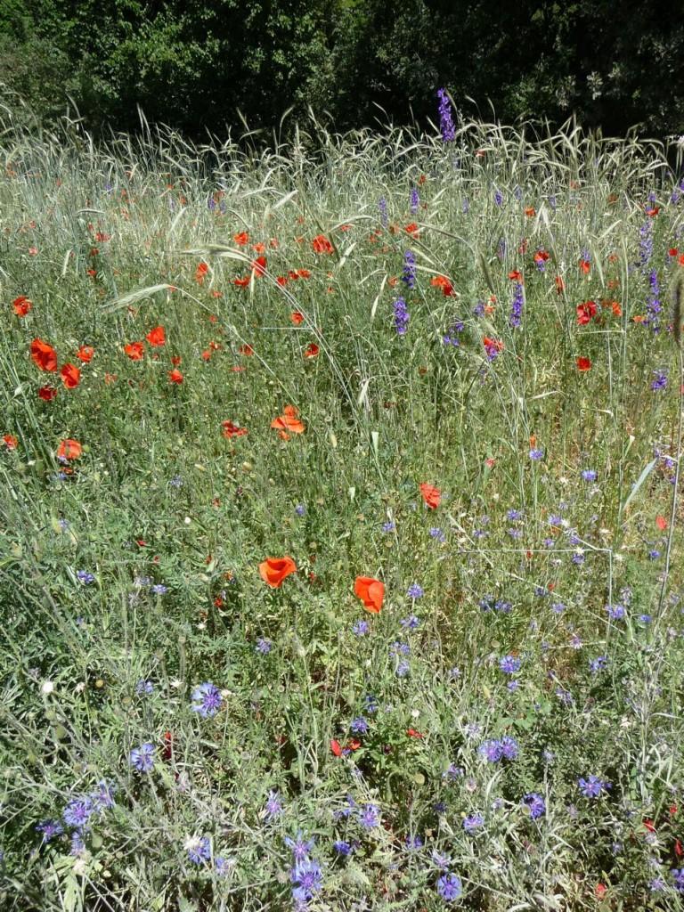 Fleurs messicoles dans le Jardin écologique, Jardin des plantes, Paris 5e (75)