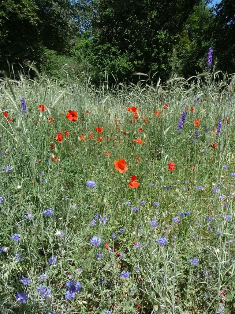 Fleurs messicoles (coquelicots, bleuets, etc.) dans le Jardin écologique, Jardin des plantes, Paris 5e (75)