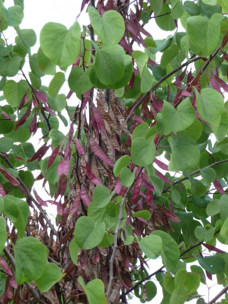 Gousses sur un arbre de Judée ou gainier (Cercis siliquastrum)
