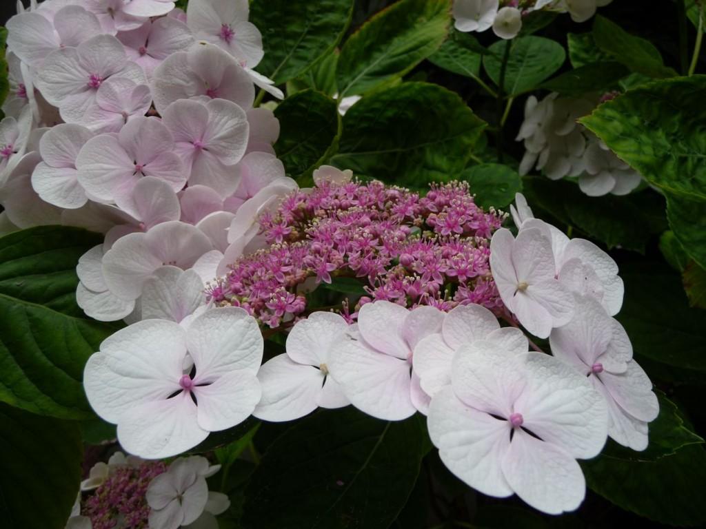 Inflorescence d'hortensia 'Libelle' (Hydrangea macrophylla 'Libelle'), rue du Ranelagh, Paris 16e (75)