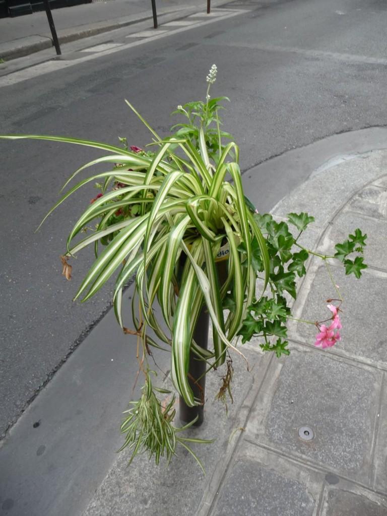 Phalangère et géranium lierre sur un Potogreen, rue Saint-Anne, Paris 2e (75)