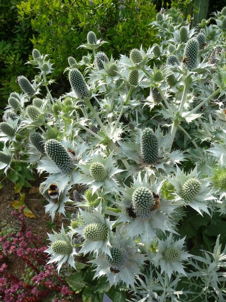Panicaut géant (Eryngium giganteum 'Silver Ghost'), Jardins fruitiers de Laquenexy (Moselle)