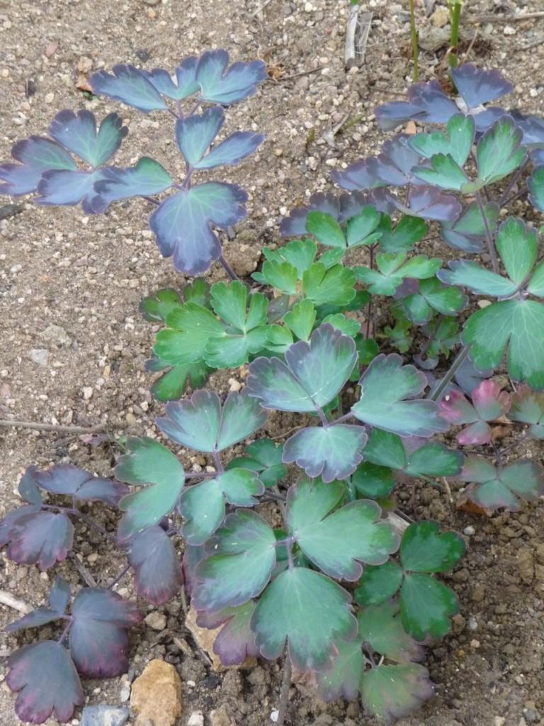 Feuillage bleuté et violacé d'un pied d'ancolie, Jardins Fruitiers de Laquenexy (Moselle)