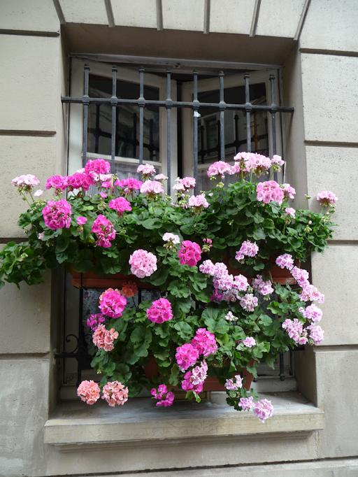 Jardinières de pélargoniums zonales accrochés à une fenêtre, Paris (75)