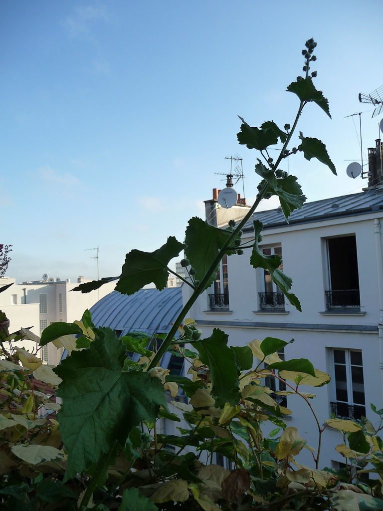 Alcathea suffrutescens 'Park Allée' sur mon balcon au début de l'été, Paris 19e (75), 30 juin 2011, photo Alain Delavie