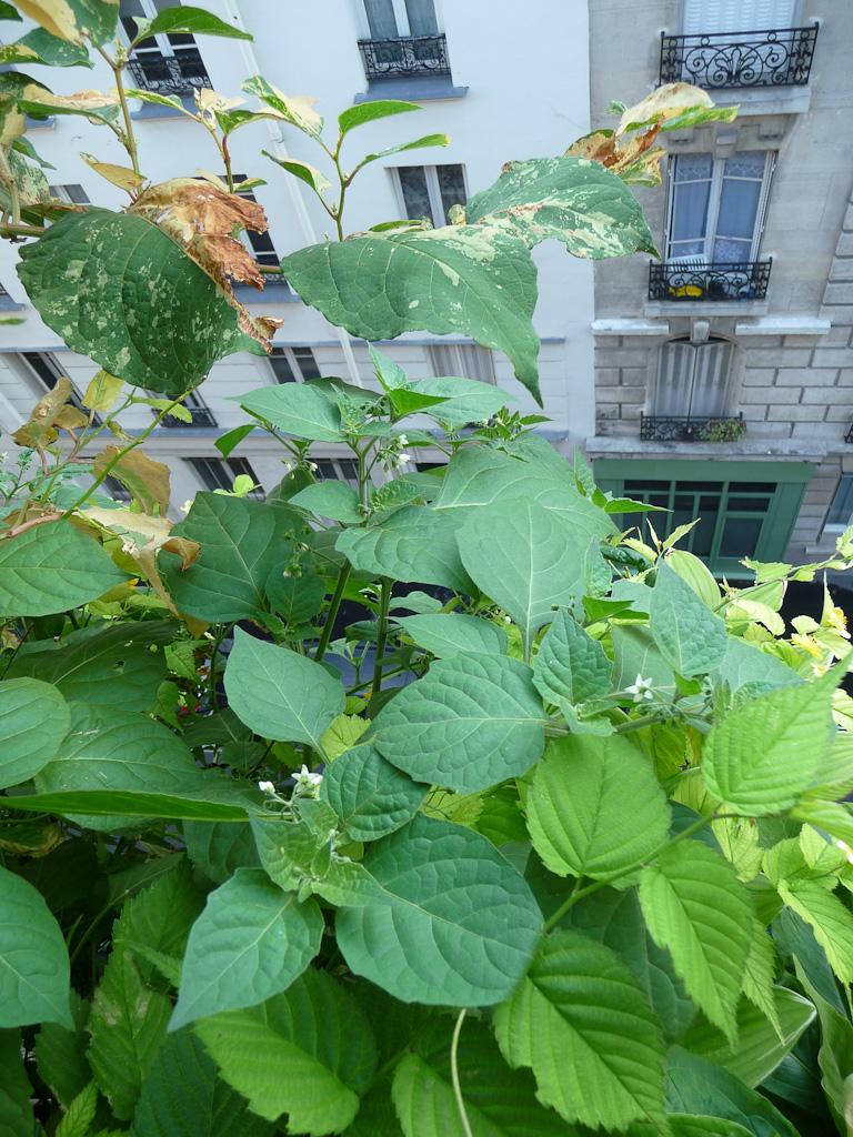 Pied de morelle Sunberry (Solanum burbankii) sur mon balcon, Paris 19e (75), semis spontané