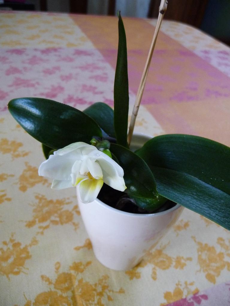 Nouvelle floraison d'un mini phalaenopsis chez moi, orchidée d'intérieur, Orchidacées