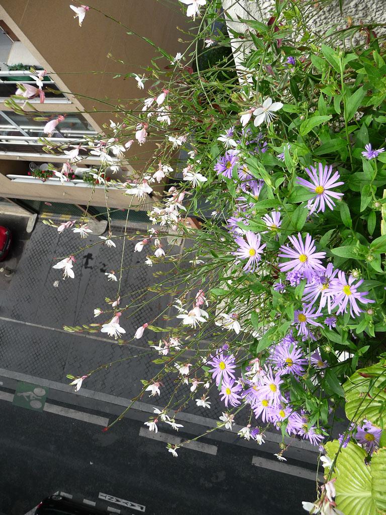 Potée d'Aster x frikartii 'Wunder von Stäffa' et Gaura 'Karalee White' sur mon balcon