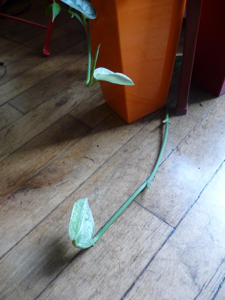 Pousse de ma potée de pothos (Scindapsus) particuliè¨rement vigoureuse et envahissante, Asplenium, plante d'intérieur