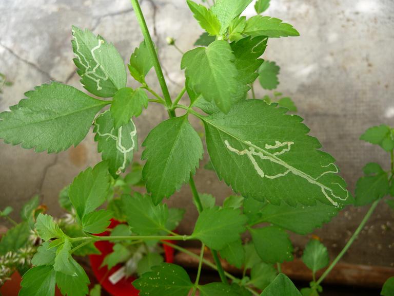 Dégâts de mineuse sur feuilles de bidens (Bidens ferulifolia 'Pirate's Pearl') sur mon balcon