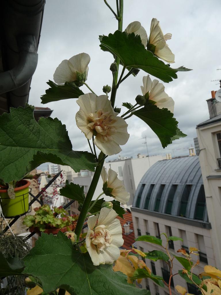 Alcathea frutescens 'Park Allée' sur mon balcon en été, Malvacées