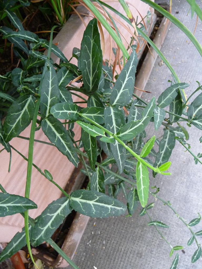 """Fusain (Euonymus fortunei 'Wolong Ghost"""") sur mon balcon en été"""