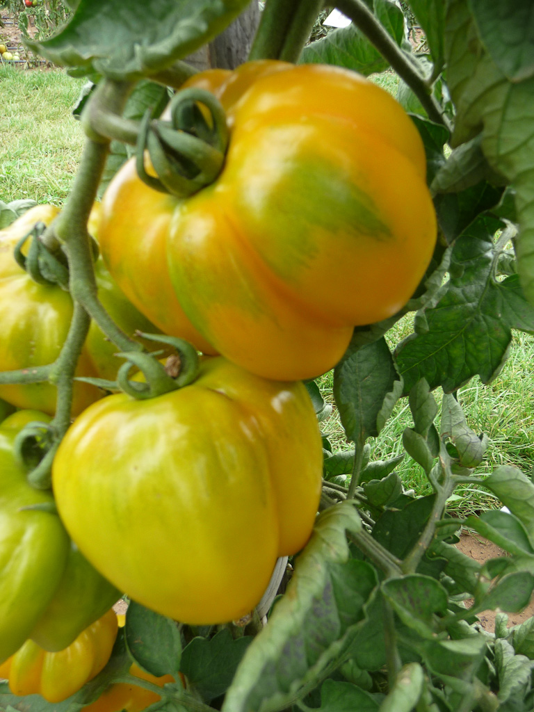 Tomate 'Yellow Stuffer' (tomate poivron), Domaine de Maninet, Valence (Drôme), Clause Vegetable Seeds et Oxadis