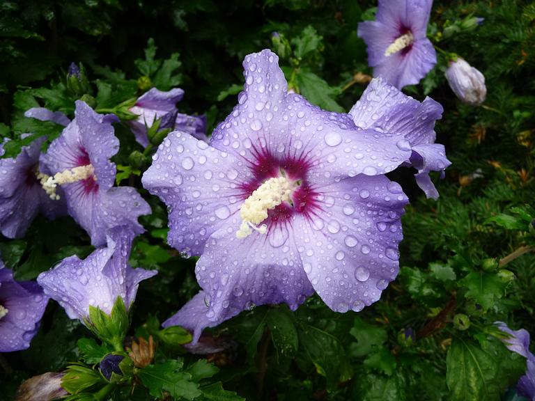 Althéa (Hibiscus syriacus) à  fleurs bleues après la pluie dans Paris