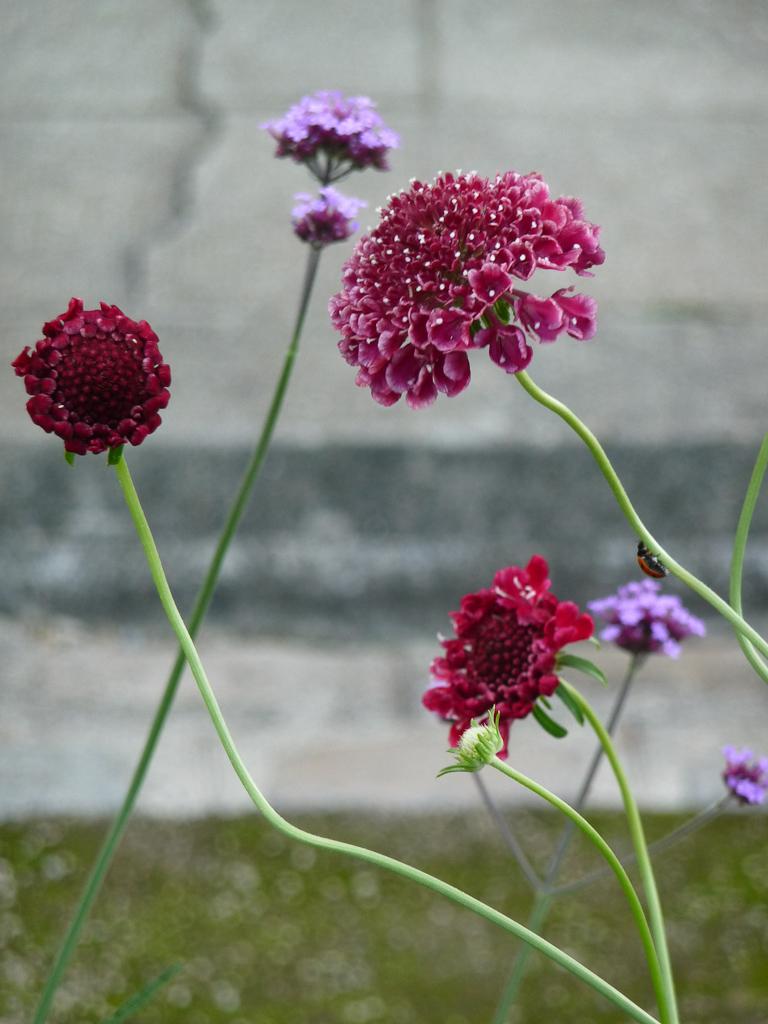 Scabieuse à fleur doubles 'Beaujolais Bonnets', fleur d'été, Cimetière du Père Lachaise, Paris 20e (75)