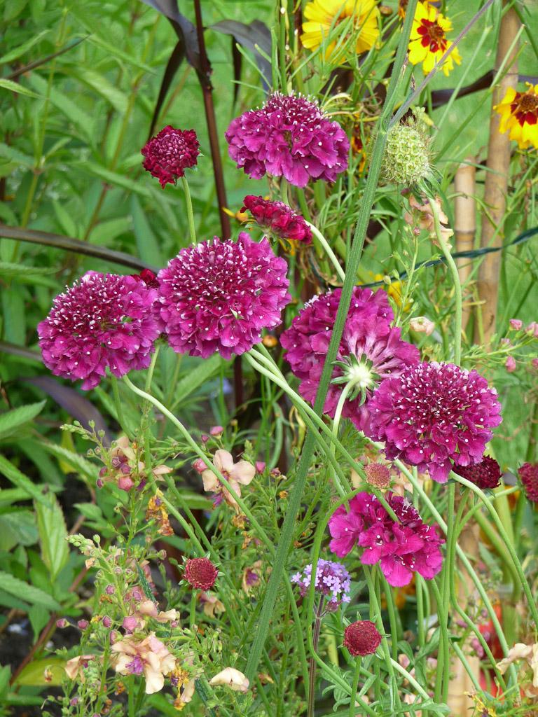 Scabieuse à fleurs doubles, fleur d'été, Cimetière du Père Lachaise, Paris 20e (75)