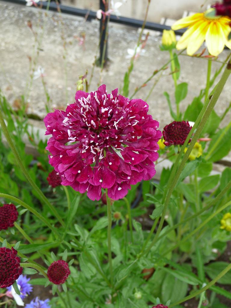 Scabieuse 'Beaujolais Bonnets', fleur d'été, Cimetière du Père Lachaise, Paris 20e (75)