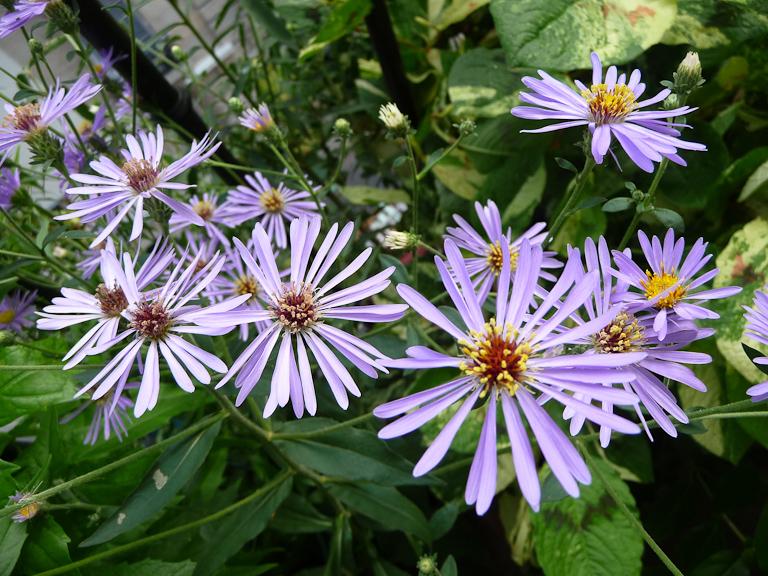 Aster à fleurs bleues sur mon balcon en été