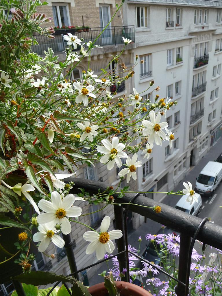 Bidens ferulifolia 'Pirate's Pearl' sur mon balcon en été, Astéracées