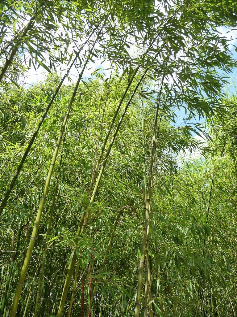 Bambous dans le jardin d'agronomie tropicale, Bois de Vincennes, Paris 12e (75)