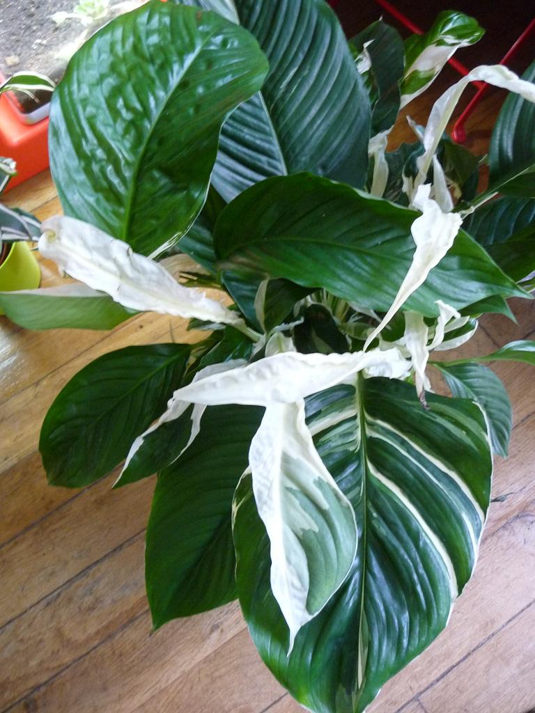 Spatiphyllum à feuillage panaché, Aracées