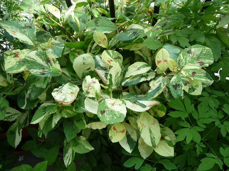 Persicaria virginiana 'Painter's Palette' sur mon balcon en été