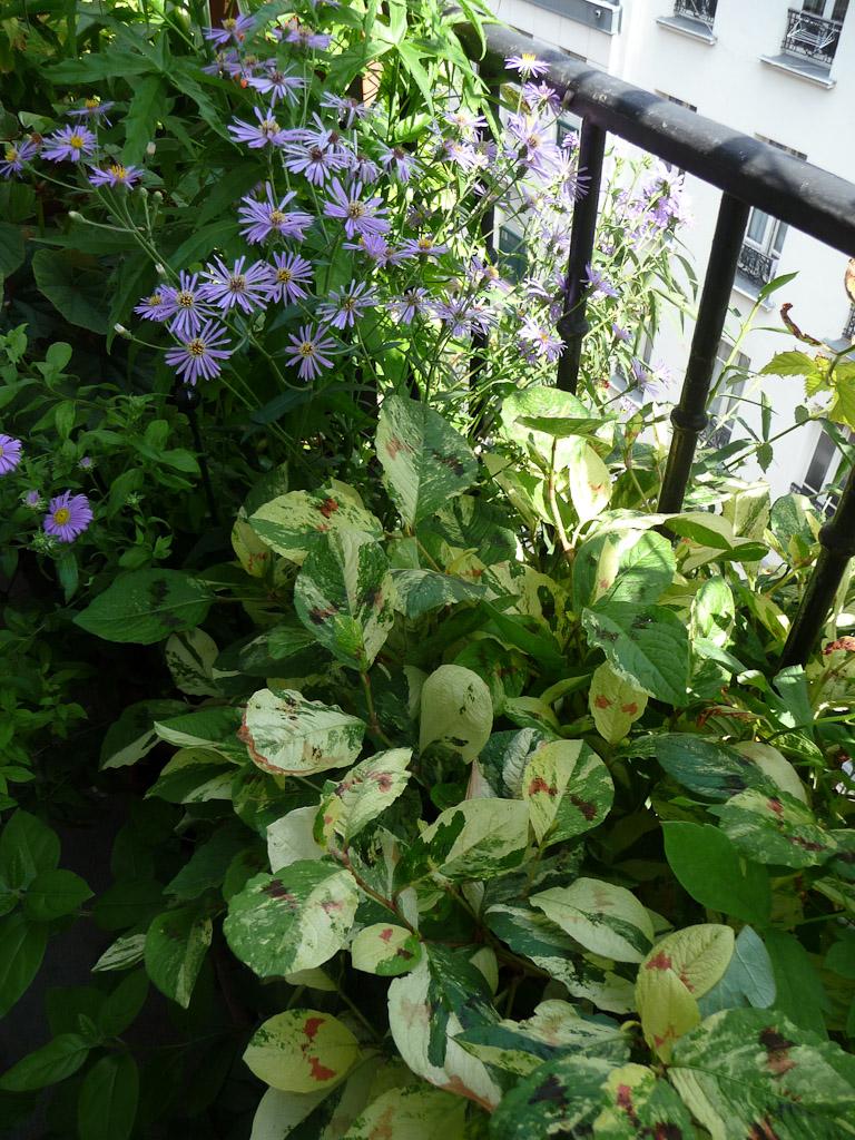 Persicaria virginiana 'Painter's Palette' et asters d'été sur mon balcon