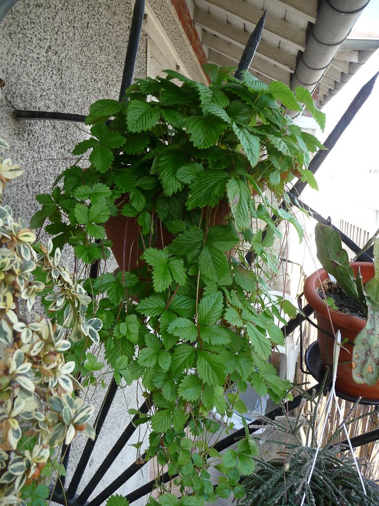 Suspension de fraises des bois sur mon balcon