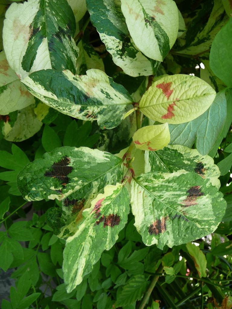 Persicaria virginiana 'Painter's Palette' sur mon balcon