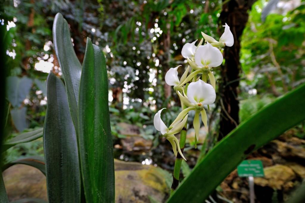 Angræcum madagascar © F-G Grandin / MNHN