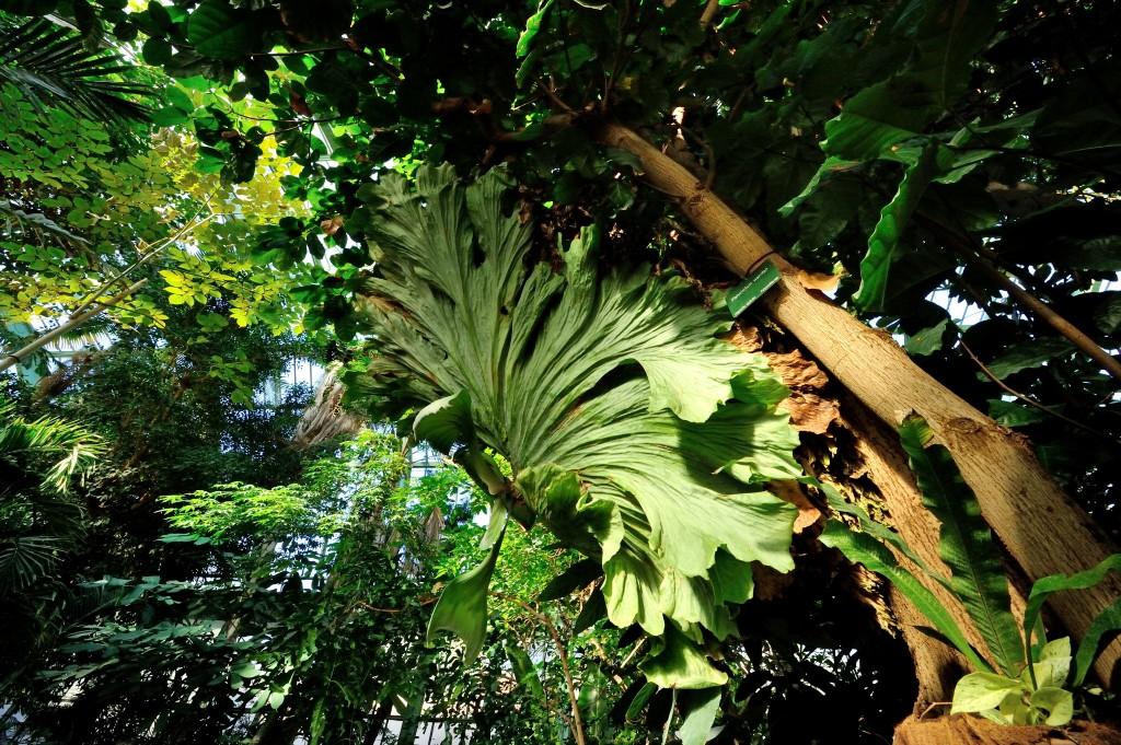 Platycerium wandae © F-G Grandin / MNHN
