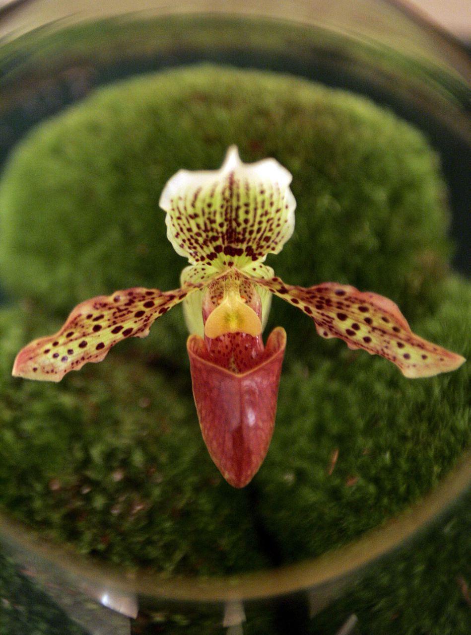 Orchidée hybride, collection du Jardin du Luxembourg