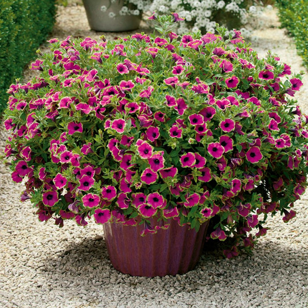 Pétunia Supertunia Pretty Much Picasso, photo Jardin Express