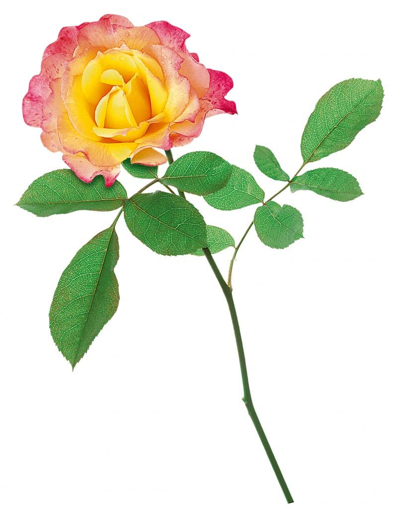 Rose Concours Lépine
