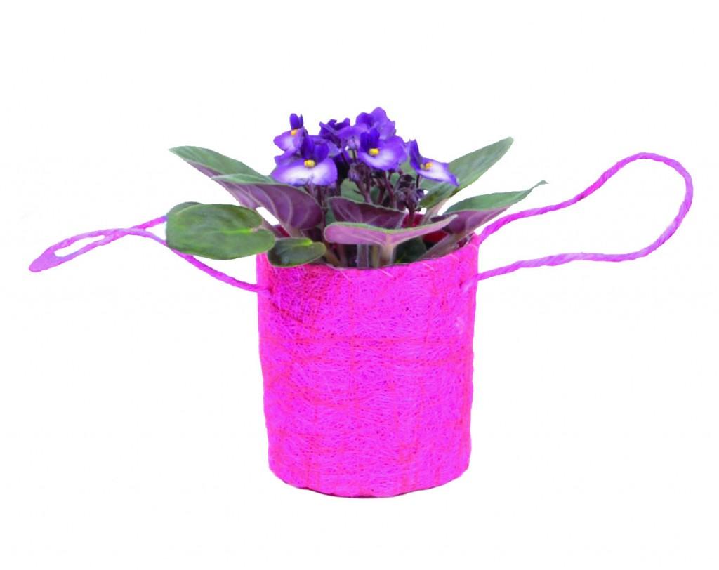 Violette du Cap (Saintpaulia ionantha)