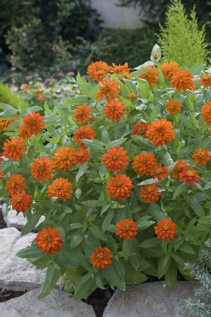 Fleur annuelle : Zinnia marylandica Double Zahara Fire