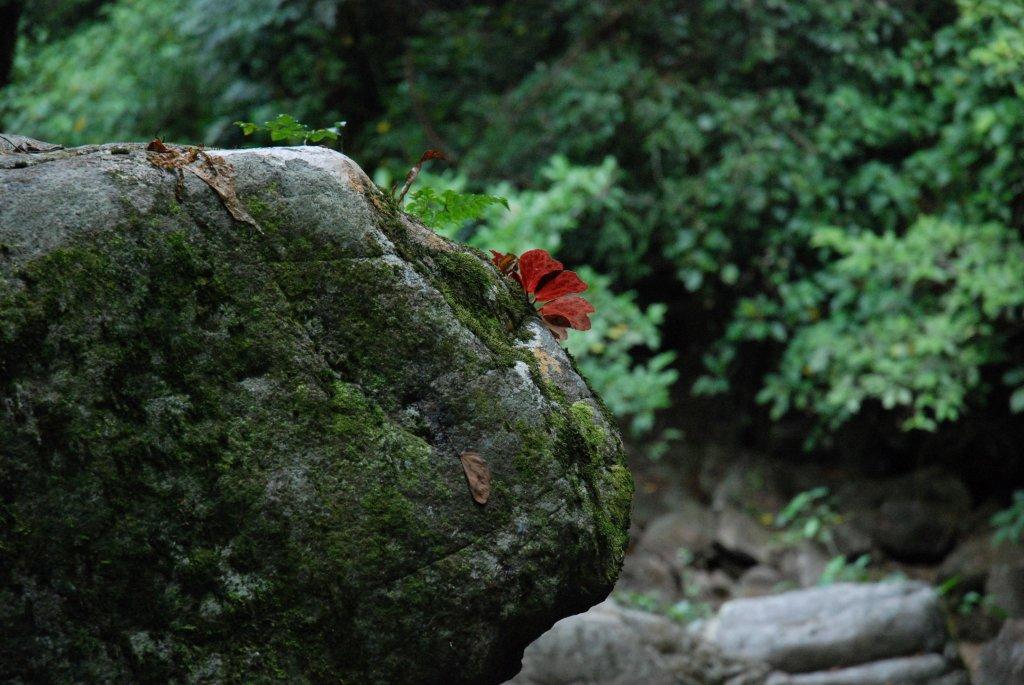 Begonia blancii, forme à feuilles tachetées avec le revers rouge, Palawan (Philippines)
