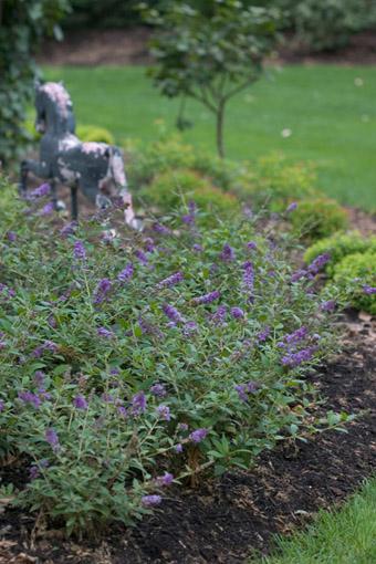 Buddleia davidii Lo & Behold 'Blue Chip' en massif dans un jardin, www.provenwinners.com