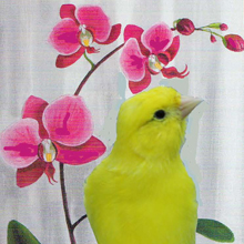 Oiseau et orchidée : canari (serin) et phalaenopsis