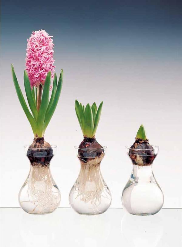 Jacinthes forcés cultivées en hydroponie sur carafe